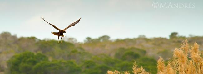 Aguilucho lagunero habitat