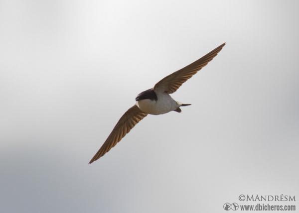 Avión común en vuelo ave