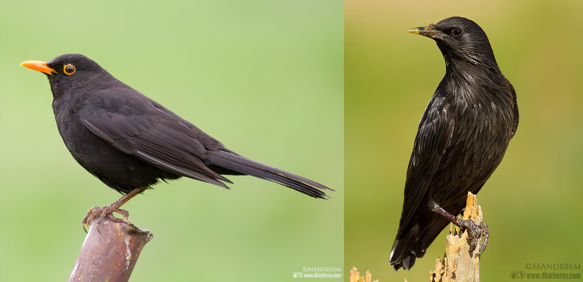 Mirlo común (izqda) vs Estornino negro (dcha)