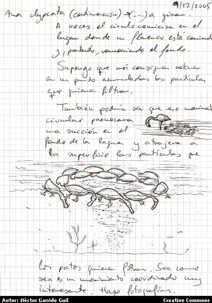 Anotación del comportamiento de alimentación de Pato Cuchara (Anas clypeata) por Hector Garrido. Cuadernos de Campo de Doñana (Doñana 1999. Creative Commons)