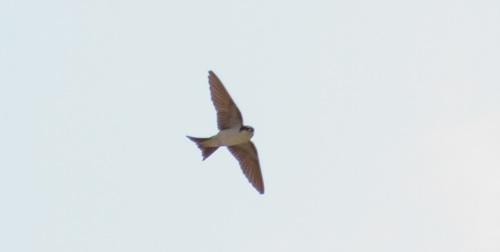 Avión Común (Delichon urbicum)