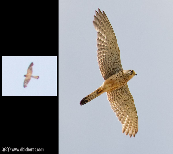 Cernícalo Vulgar  (Falco tinnunculus )