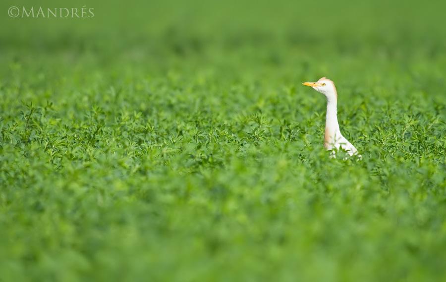 Garcilla bueyera alimentándose en un campo de cereal