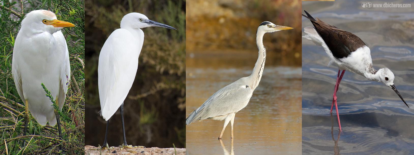 Las 12 aves acuáticas que (casi) siempre verás en un humedal: Y no ...
