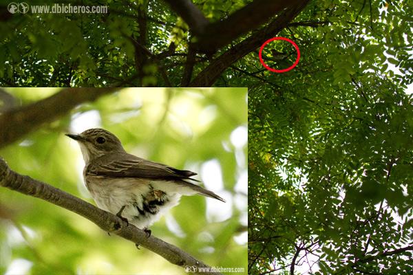 Papamoscas Gris  (Muscicapa striata )