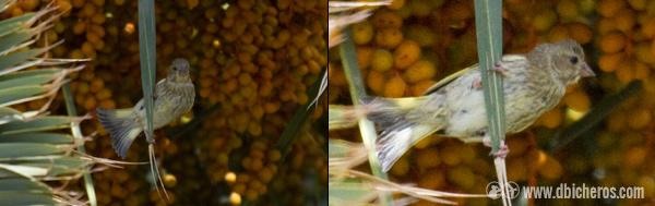 Jóven de verderón Común  (Carduelis chloris )