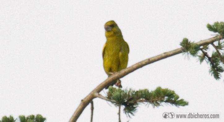 Verderón común (Daros  cuenta de su pico fuerte, su color verdoso y ese negruzco que tiene en el entrecejo...)