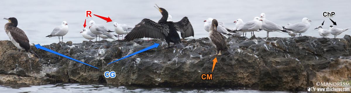 R=Reidoras CG= Cormorán grande CM= Cormorán moñudo ChP=Charranes patinegros