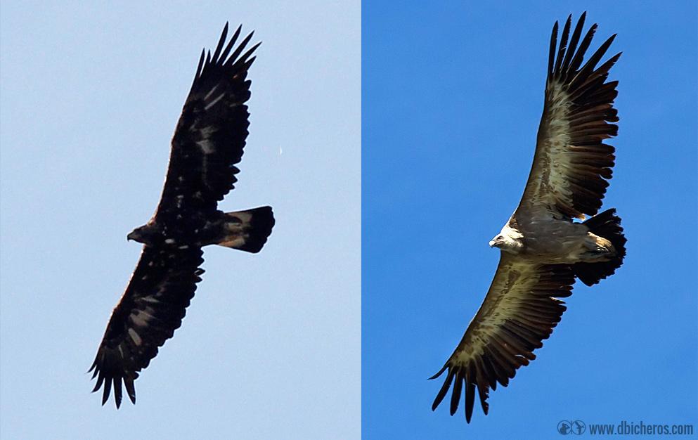 Águila real (izqda) y Buitre leonado (dcha) en vuelo
