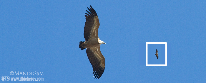 Posición de alas sinuosas características de los buitres
