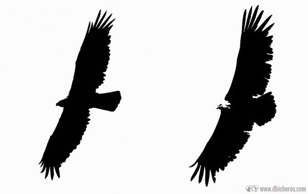 Siluetas de Águila real (izqda) y Buitre leonado (dcha)