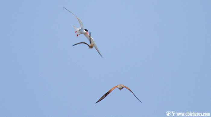 cernícalo vulgar falco tinnunculus