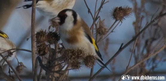 sol Aves rurales jilguero