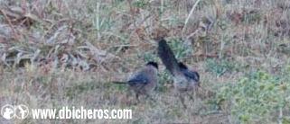 sol Aves rurales rabilargo