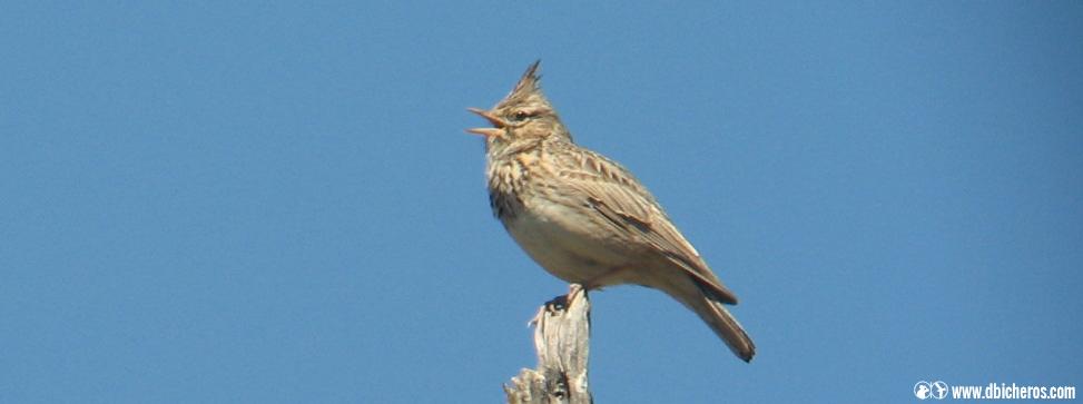 sol Aves rurales cogujada