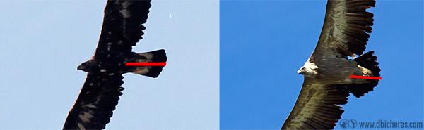 Comparativa de las colas de águila real y buitre leonado.