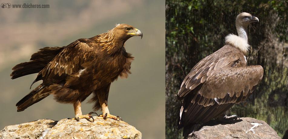 Águila real (izqda) y Buitre leonado (dcha)