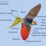 Partes de una golondrina dauria en vuelo (PASAD EL RATÖN POR ENCIMA PARA QUE APAREZCAN LOS NOMBRES DE LA TOPOGRAFÍA DEL AVE)