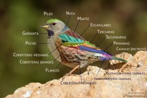 Acentor alpino alas ave (Prunella collaris) (c) Miguel Ángel Andrés