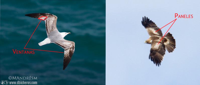 Ventanas alares vs paneles alares aves
