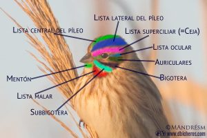 Nombres partes ave cabeza palustre