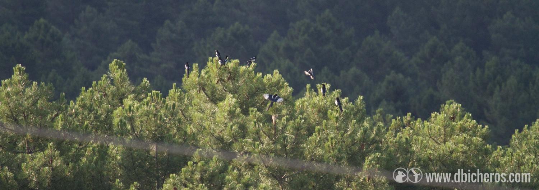 2.3 Echando la vista a lo lejos, sobre la pinada, unas cuantas aves se alborotan en lo alto