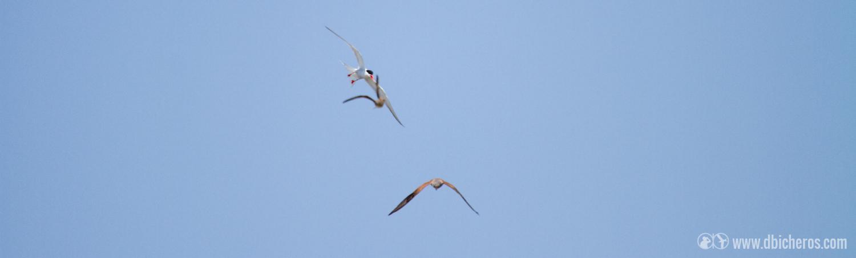 7. Bajamos de nuevo a la zona costera y en una zona de humeda, aparece una rapaz acosada por otras dos aves que le persiguen. ¿Sabrías identificar las tres especies?