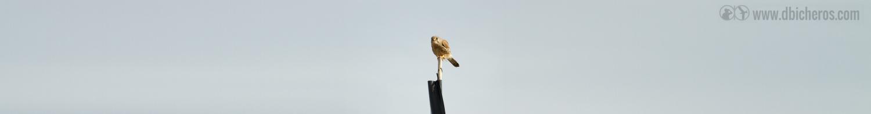 3.2 Al mismo tiempo, en un poste lejano, se ve un ave algo más pequeña