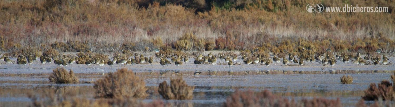 1.1 Un bando mixto de TRES especies descansa en un saladar inundado