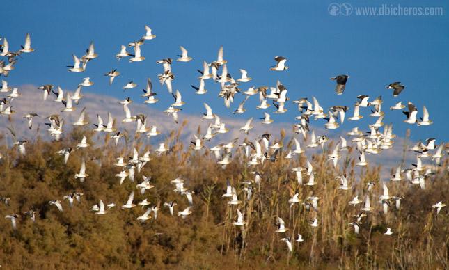 Bando de aves frente al carrizo