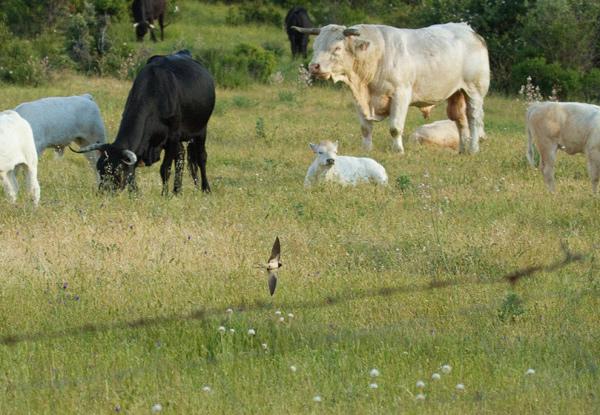 Ave Golondrina en vuelo rasante por el campo