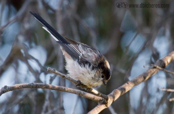 2.1 MIto(Aegithalos caudatus) Su cola larga y cuerpo compacto son inconfundibles