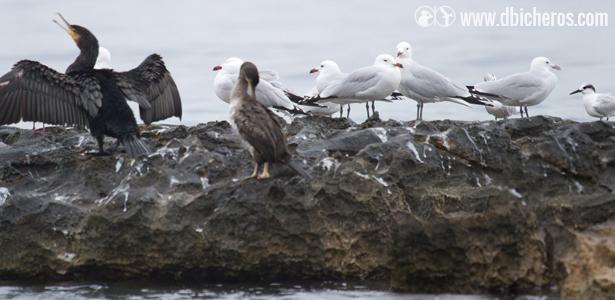 reto aves marinas dbicheros