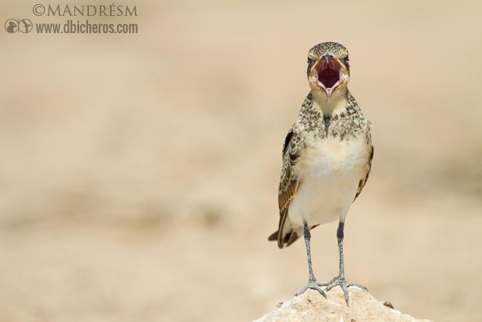 Canastera (Glareola pranticola) abriendo la boca