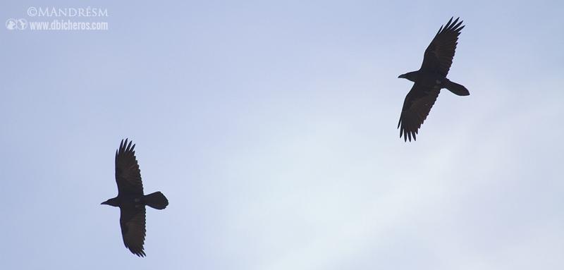 Cuervos en vuelo (Notad la cola apuntada en la parte central formando un pequeño rombo)