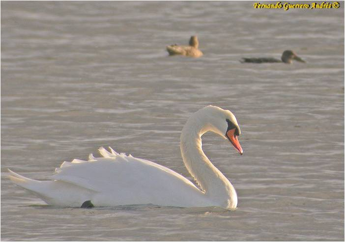 Cisne vulgar probablemente salvaje en la Marisma Blanca de Santoña (Cantabria)