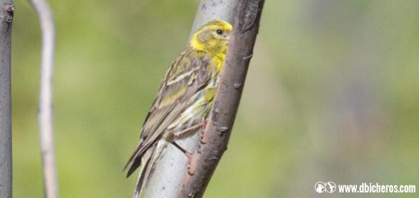 sol Aves rurales verdecillo