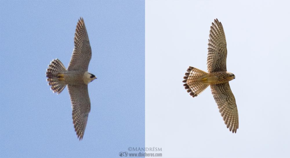 Halcón peregrino vs cernícalo vulgar en vuelo