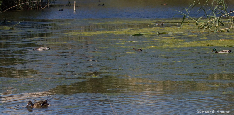1.1 Varias especies de aves nadan en el humedal. La mañana empieza bien!