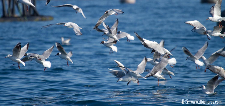 1.4 Un momento, al paso de un pesquero, una algaravía de gaviotas se está concentrando en los descartes!